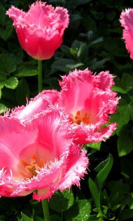 46726 baixar papel de parede Plantas, Flores - protetores de tela e imagens gratuitamente