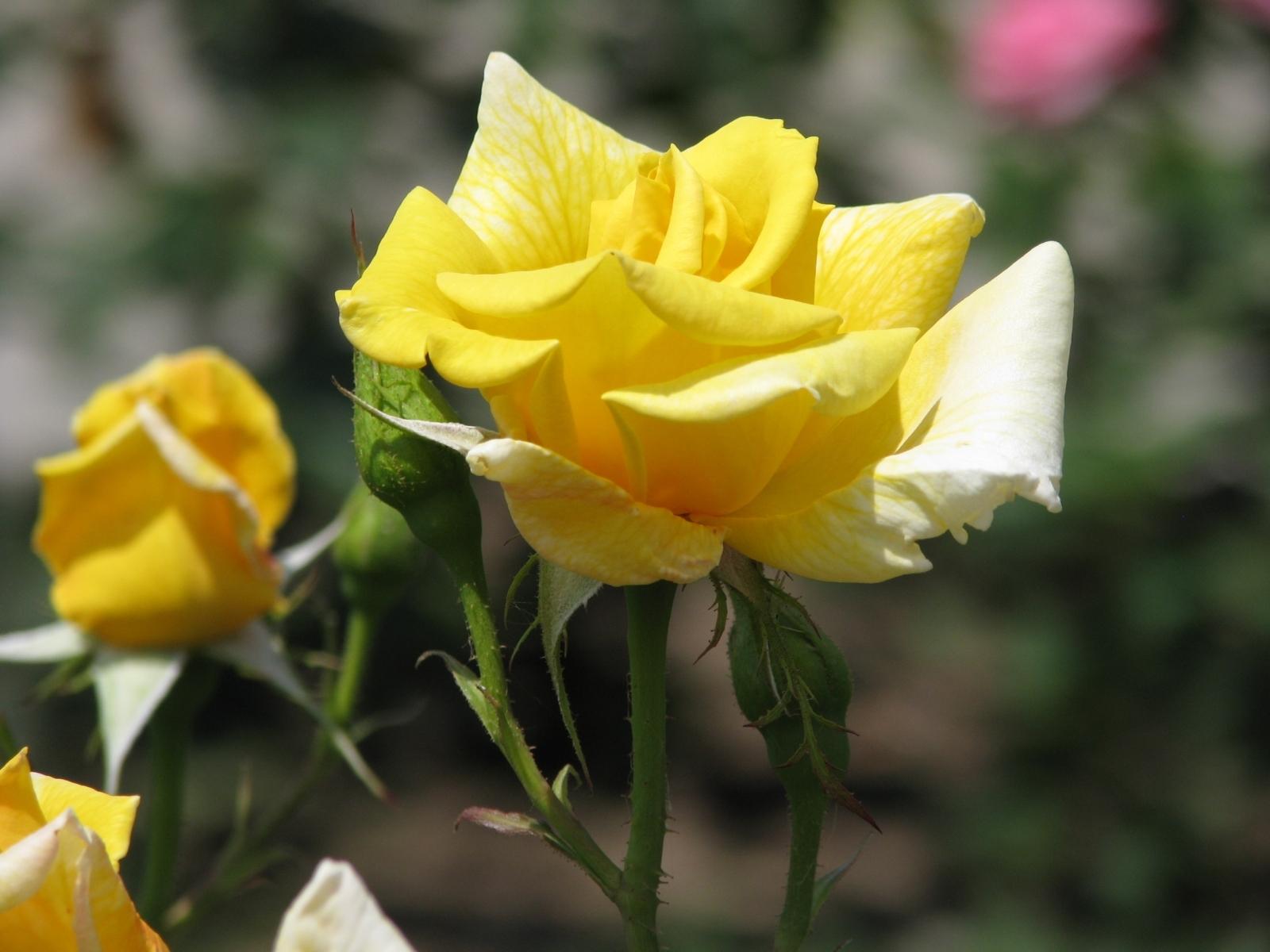6512 скачать обои Растения, Цветы, Розы - заставки и картинки бесплатно