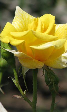 6512 télécharger le fond d'écran Plantes, Fleurs, Roses - économiseurs d'écran et images gratuitement