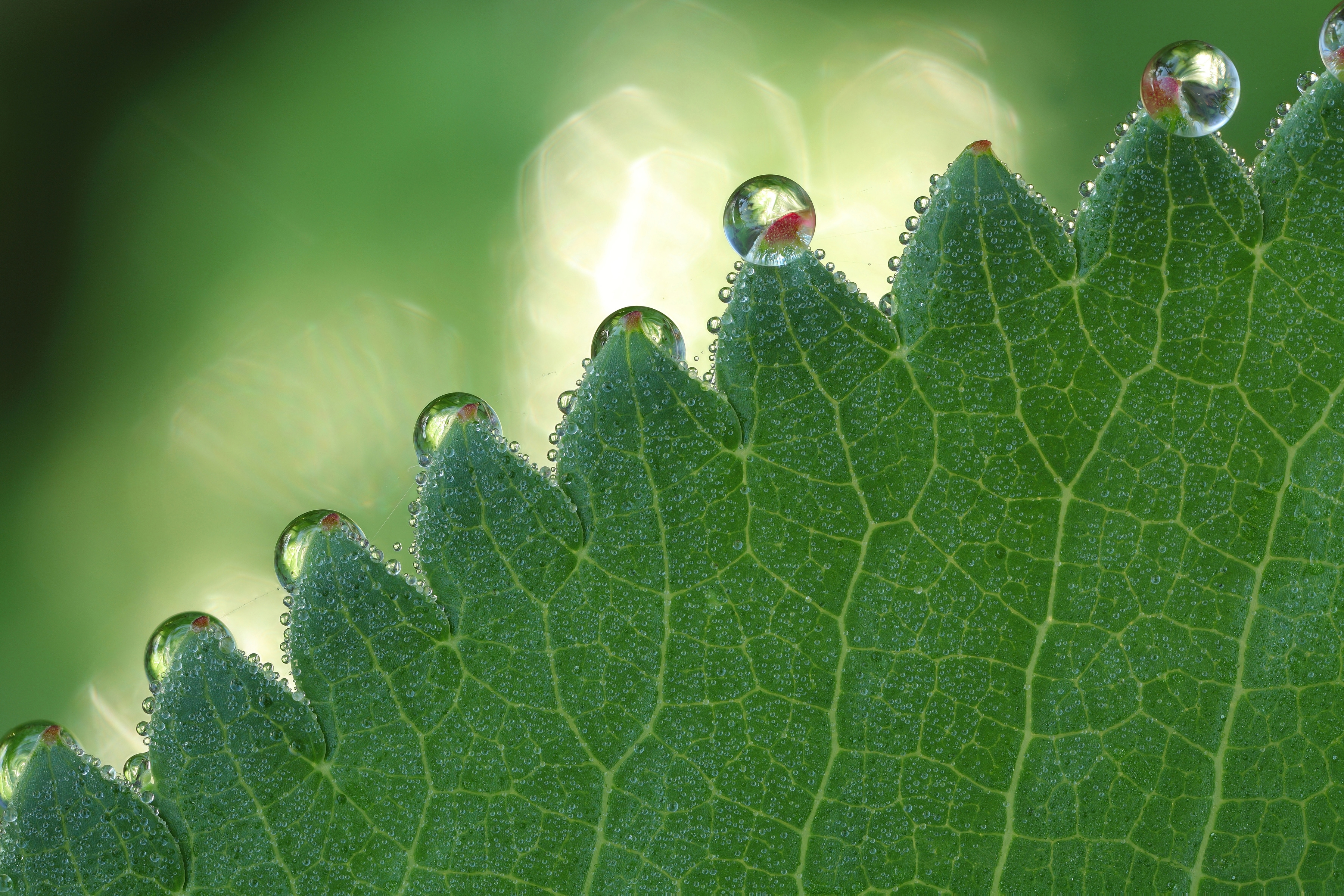 136360 download wallpaper Macro, Plant, Drops, Sheet, Leaf, Form, Carved screensavers and pictures for free
