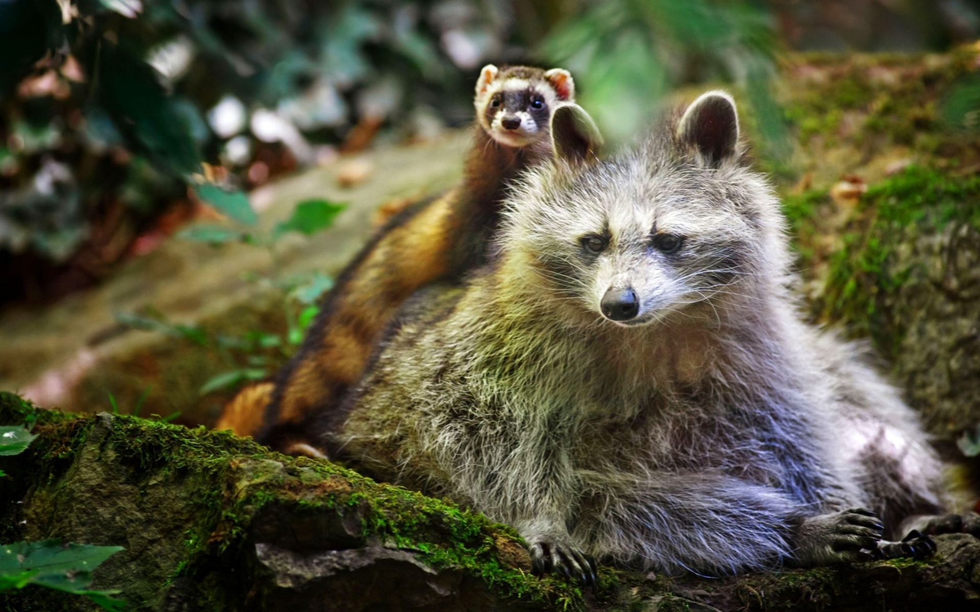 28630 download wallpaper Animals, Raccoons screensavers and pictures for free