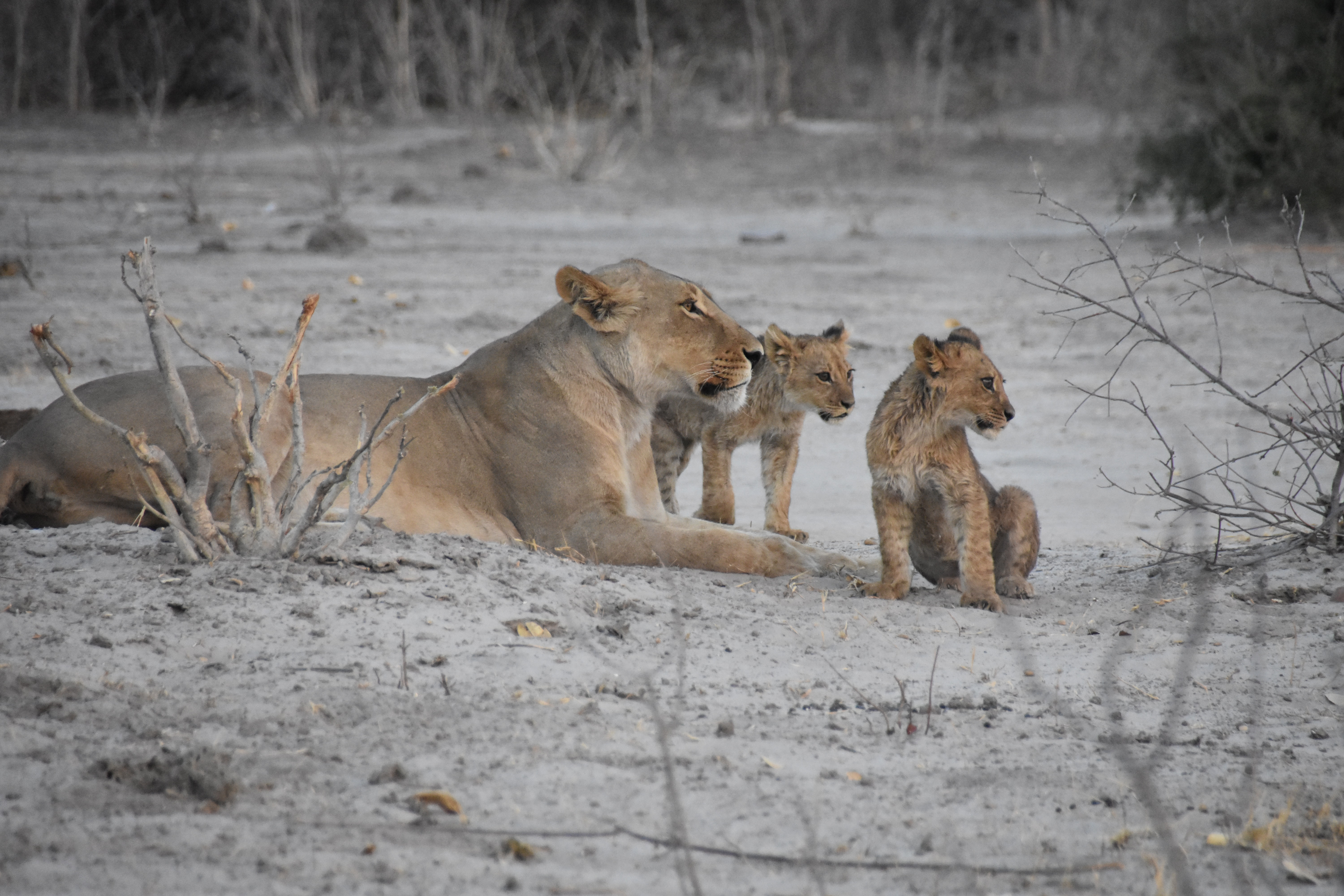 139370 download wallpaper Animals, Lioness, Lion Cubs, Mother, Cubs, Young, Lions screensavers and pictures for free