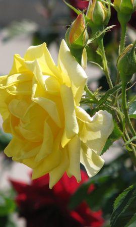 8066 скачать обои Растения, Цветы, Розы - заставки и картинки бесплатно