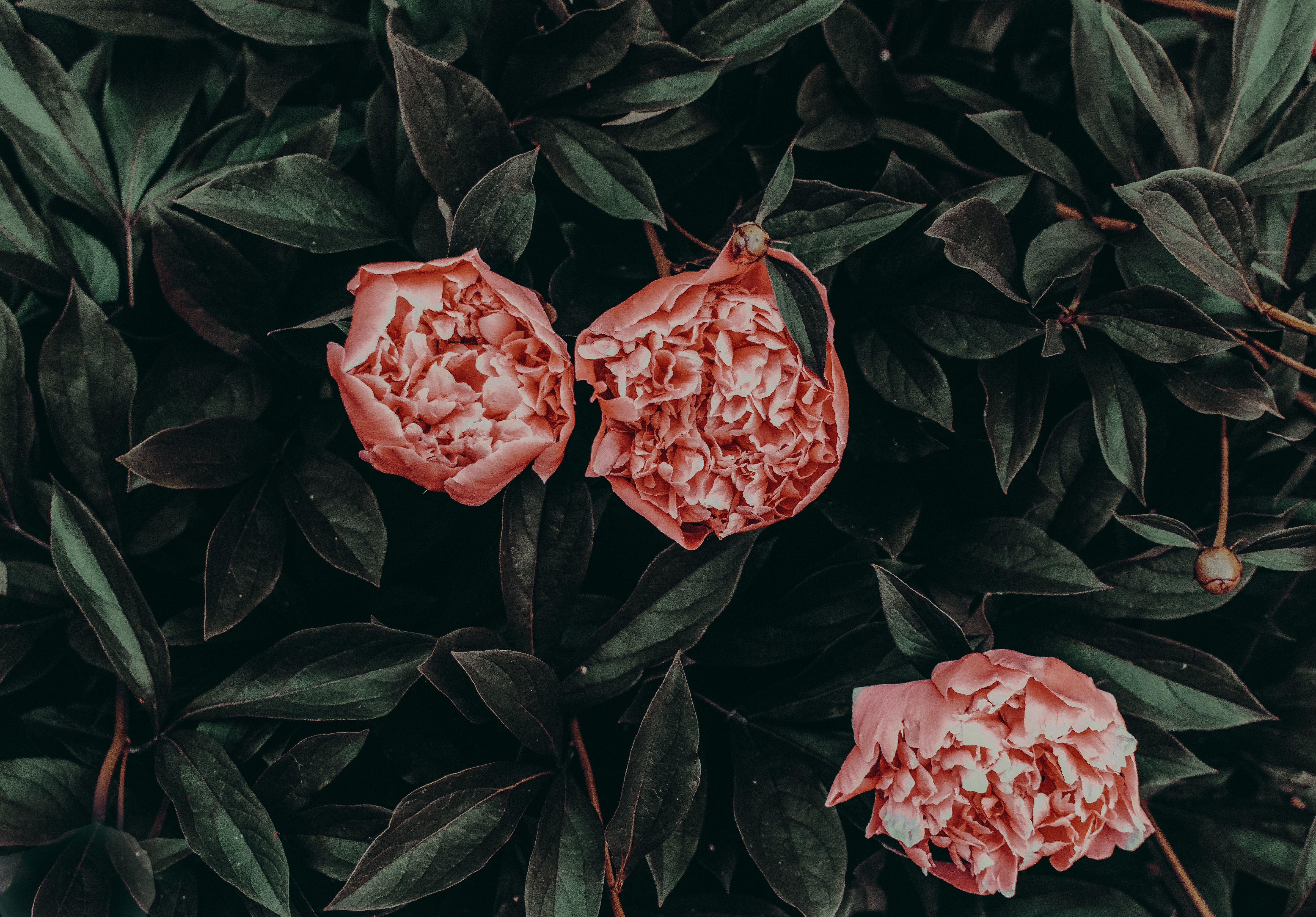 147182 скачать обои Пионы, Цветы, Листья, Лепестки - заставки и картинки бесплатно