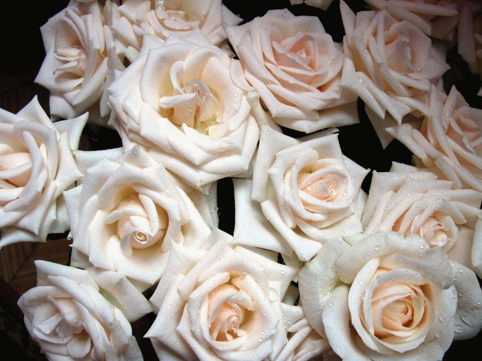 8374 скачать обои Растения, Цветы, Фон, Розы - заставки и картинки бесплатно