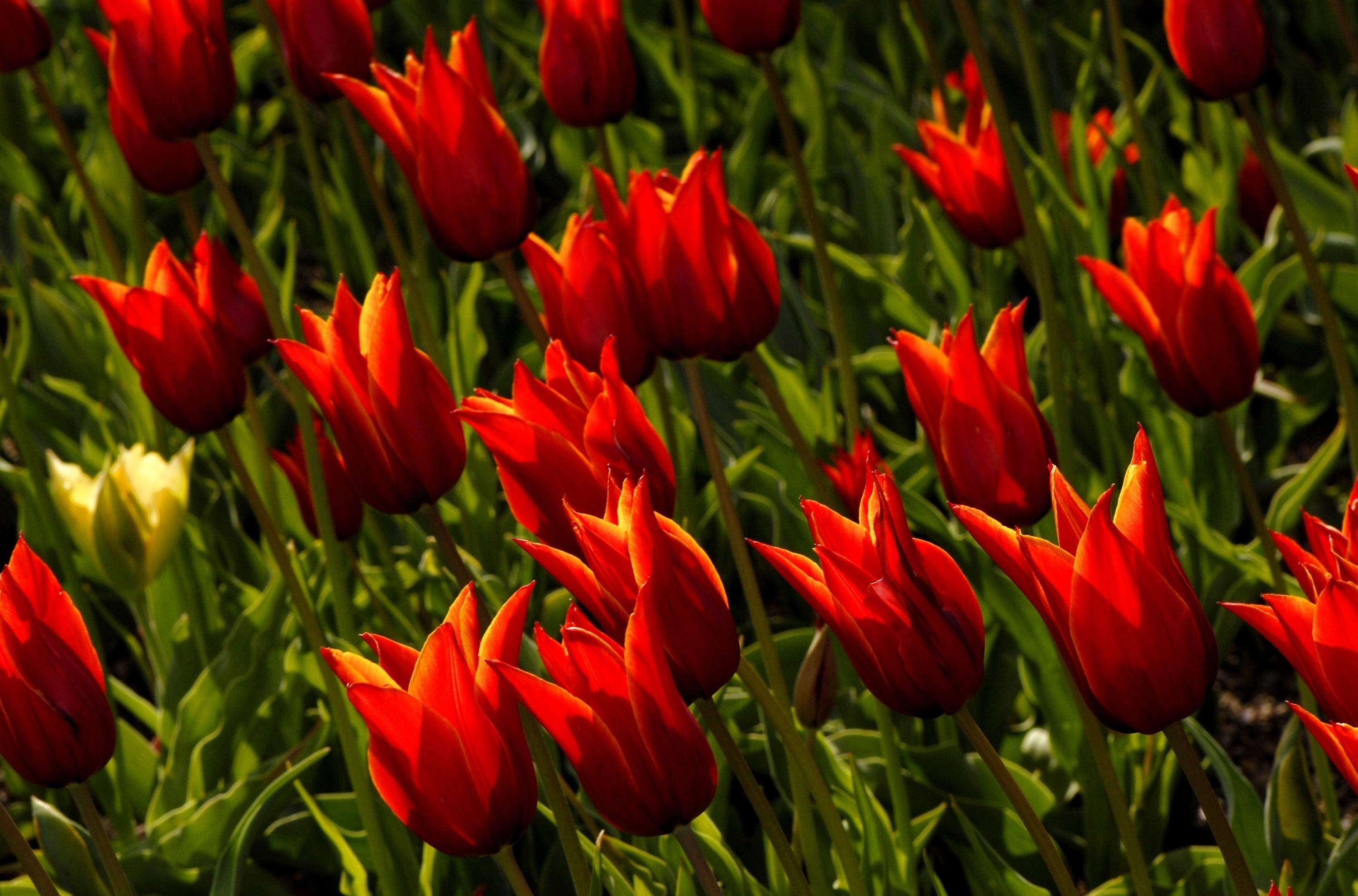 128716 Screensavers and Wallpapers Flower Bed for phone. Download Flowers, Tulips, Flower Bed, Flowerbed, Royal pictures for free