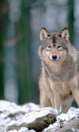 39591 baixar papel de parede Animais, Lobos - protetores de tela e imagens gratuitamente
