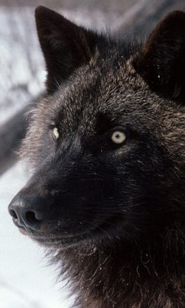 898 download wallpaper Animals, Wolfs screensavers and pictures for free