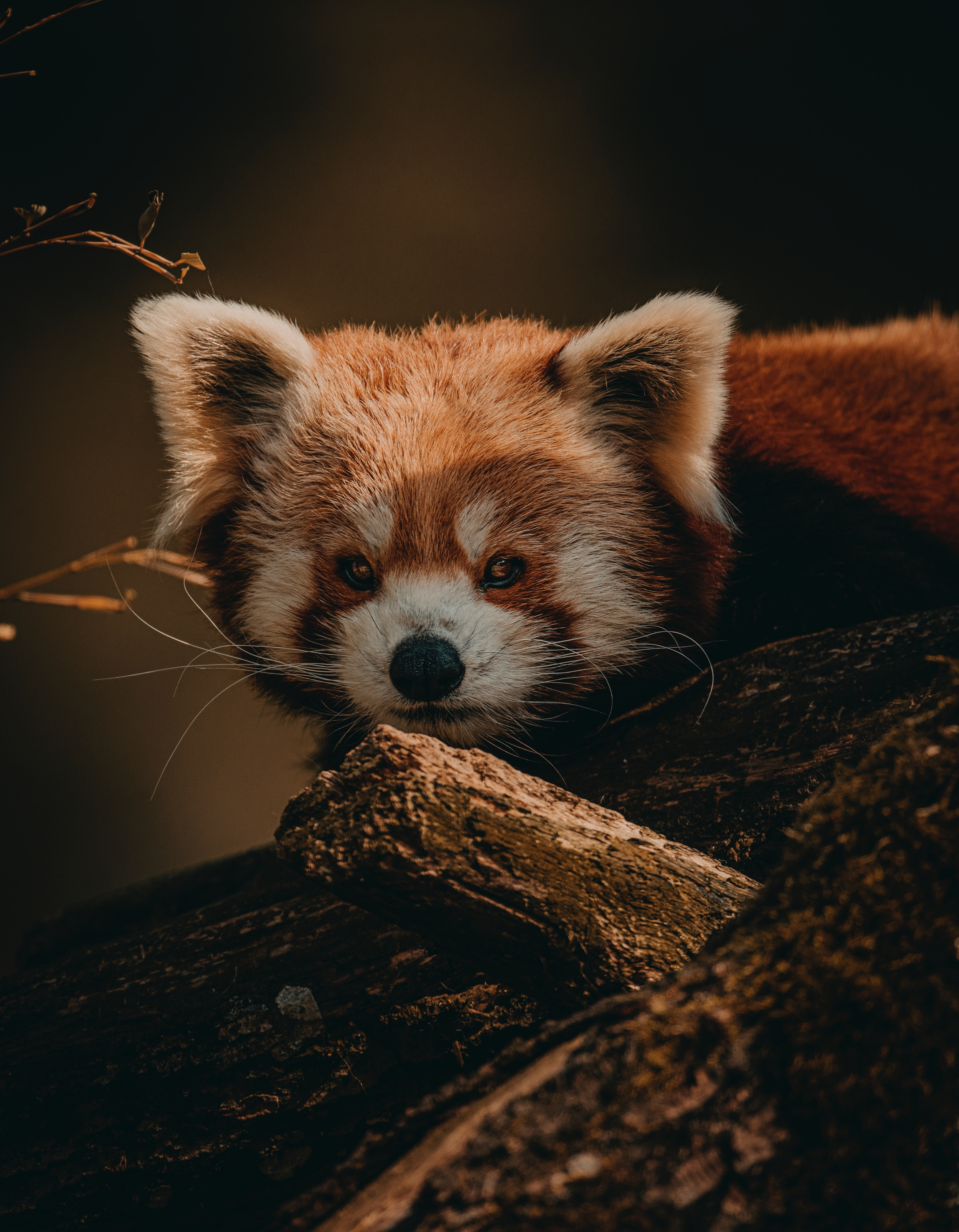 68732 download wallpaper Animals, Little Panda, Small Panda, Animal, Brown, Wood, Tree, Wildlife screensavers and pictures for free