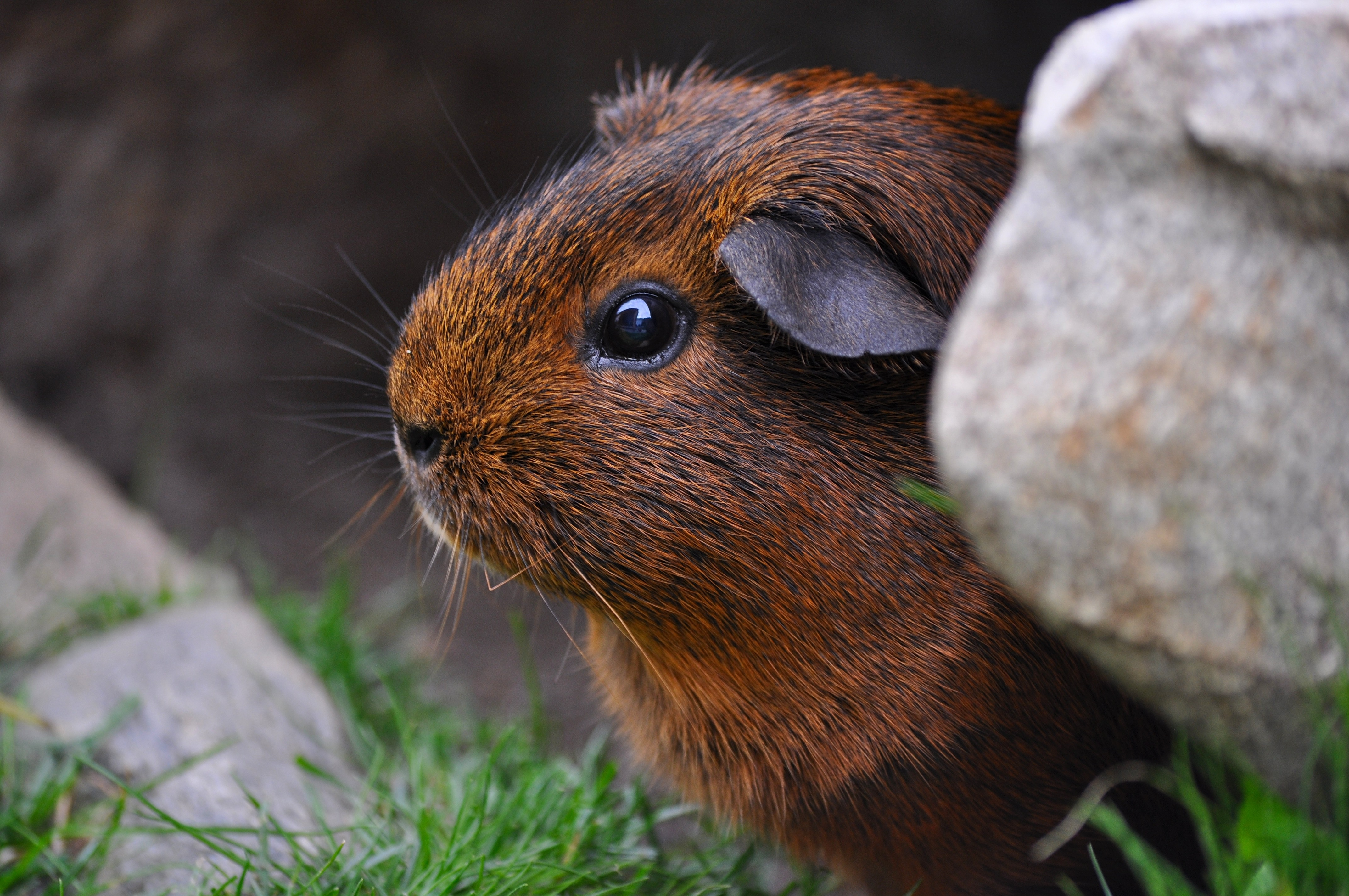 119095 download wallpaper Animals, Guinea Pig, Sit, Rodent screensavers and pictures for free