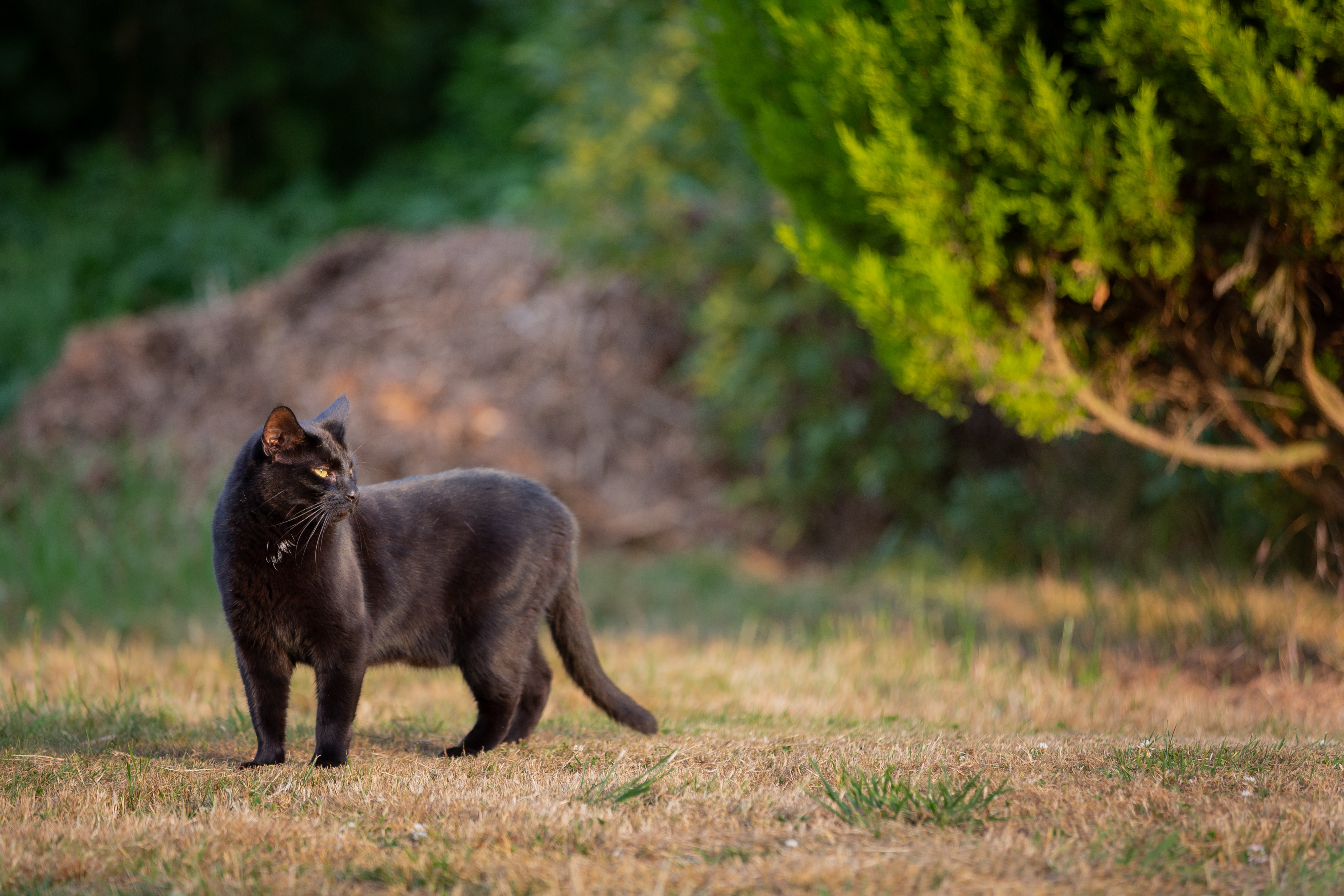 85108 Hintergrundbild 720x1280 kostenlos auf deinem Handy, lade Bilder Tiere, Der Kater, Katze, Bummel, Spaziergang, Schwarzer Kater, Black Cat 720x1280 auf dein Handy herunter