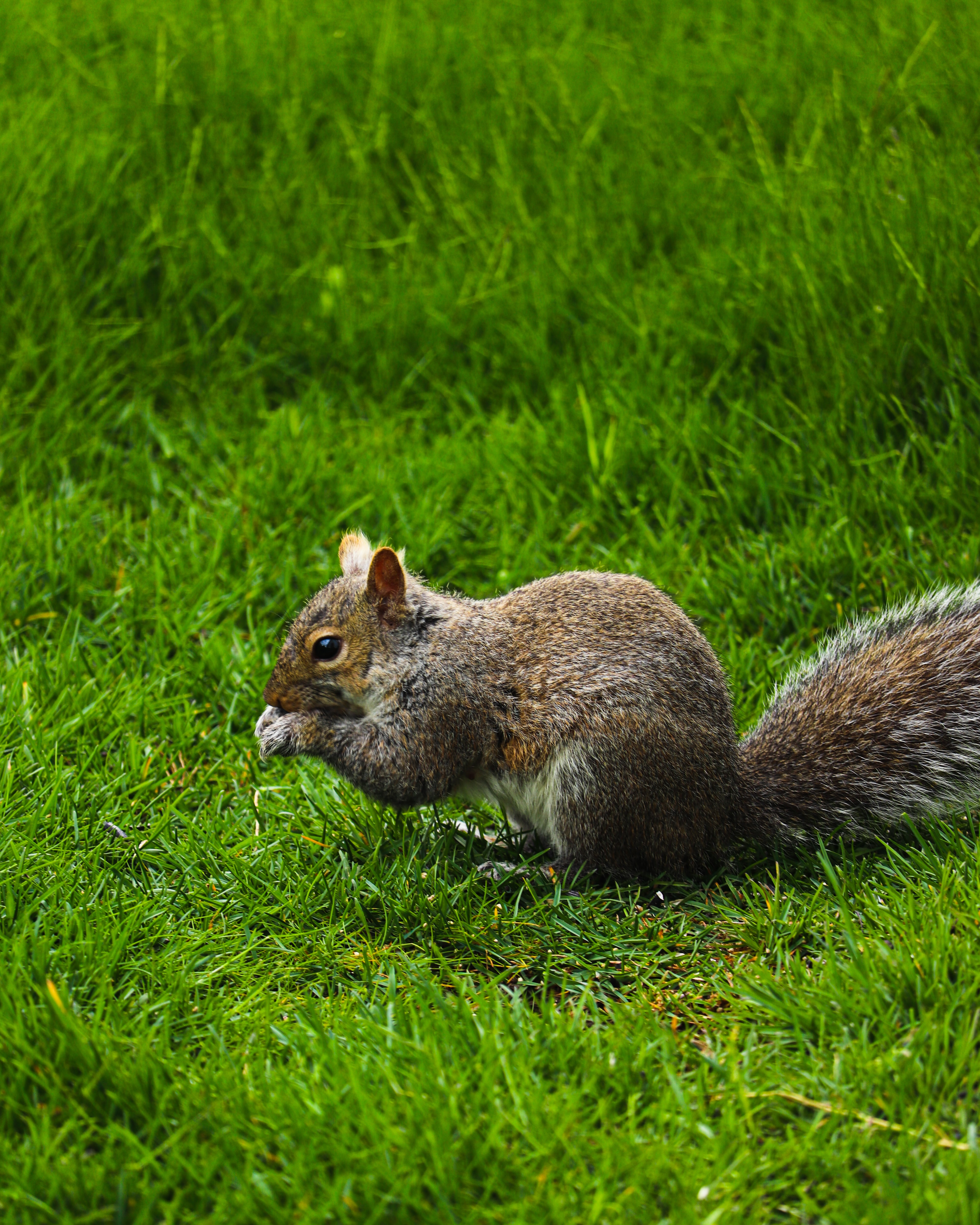 100443 download wallpaper Animals, Squirrel, Rodent, Grass, Funny screensavers and pictures for free