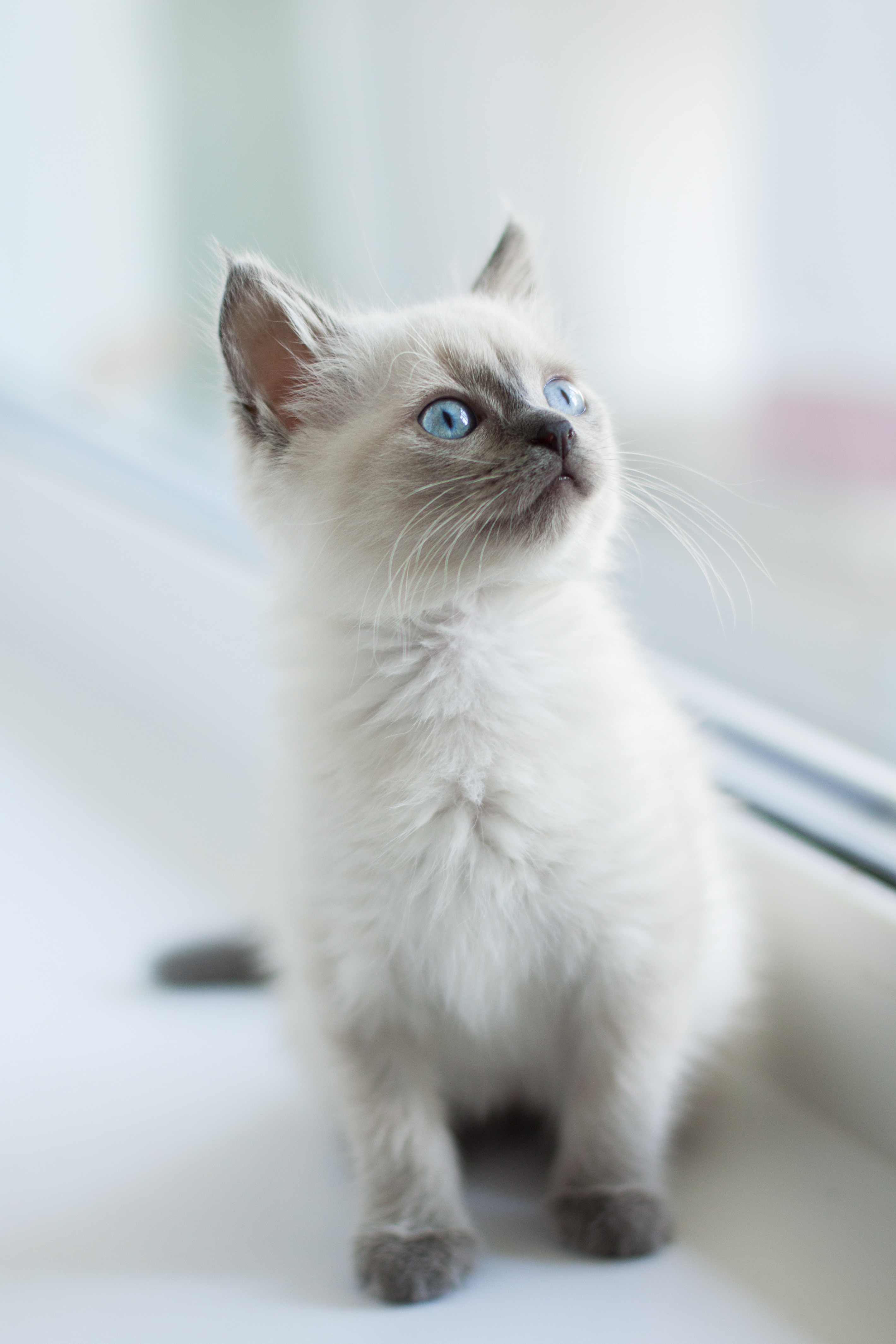 107923 download wallpaper Animals, Burmese Cat, Kitty, Kitten, Sight, Opinion, Pet screensavers and pictures for free