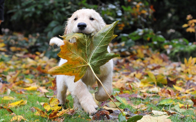 15460 скачать обои Животные, Собаки, Осень, Листья - заставки и картинки бесплатно