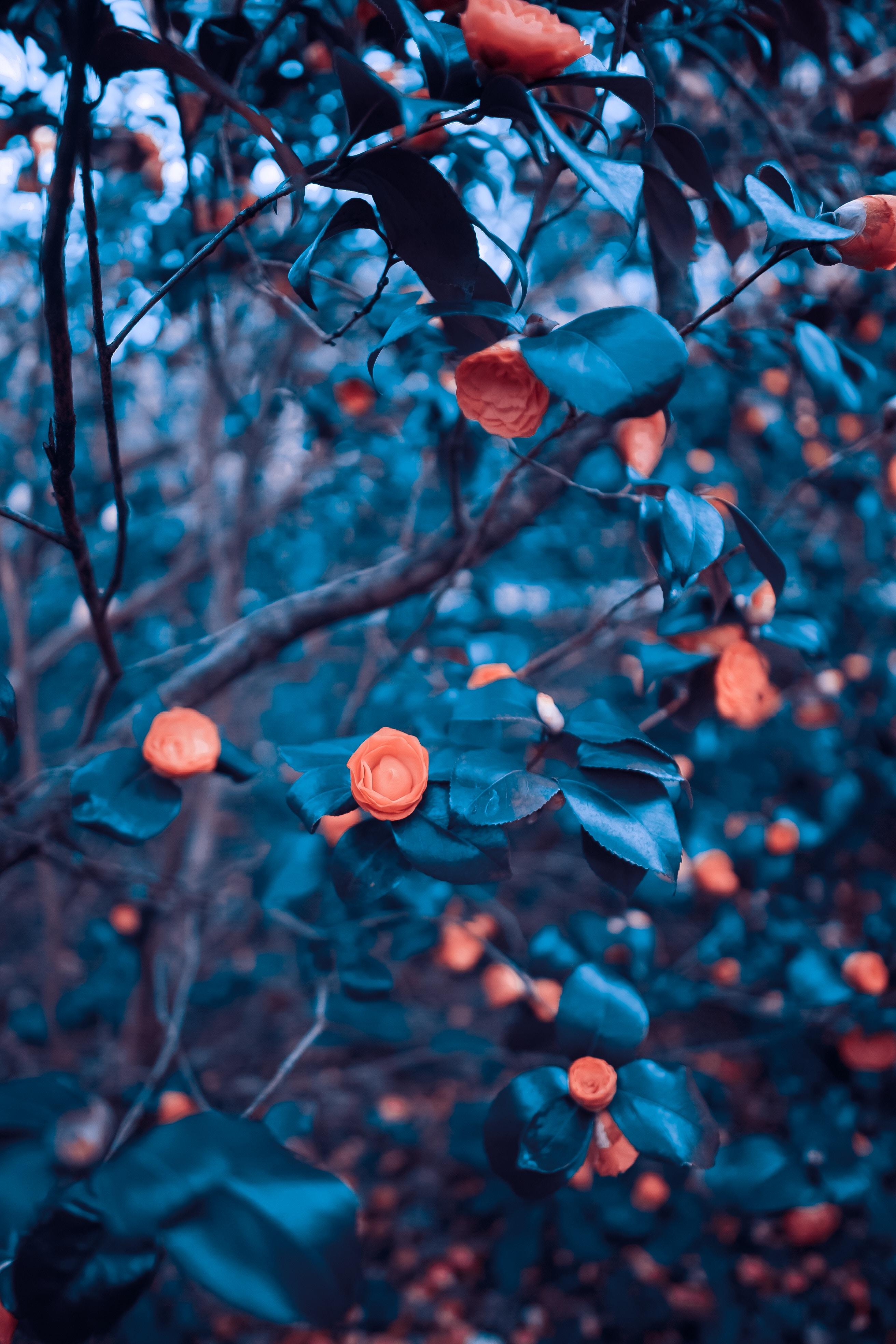 97093 Hintergrundbild herunterladen Blumen, Roses, Bush, Holz, Baum, Unschärfe, Glatt, Busch, Garten - Bildschirmschoner und Bilder kostenlos