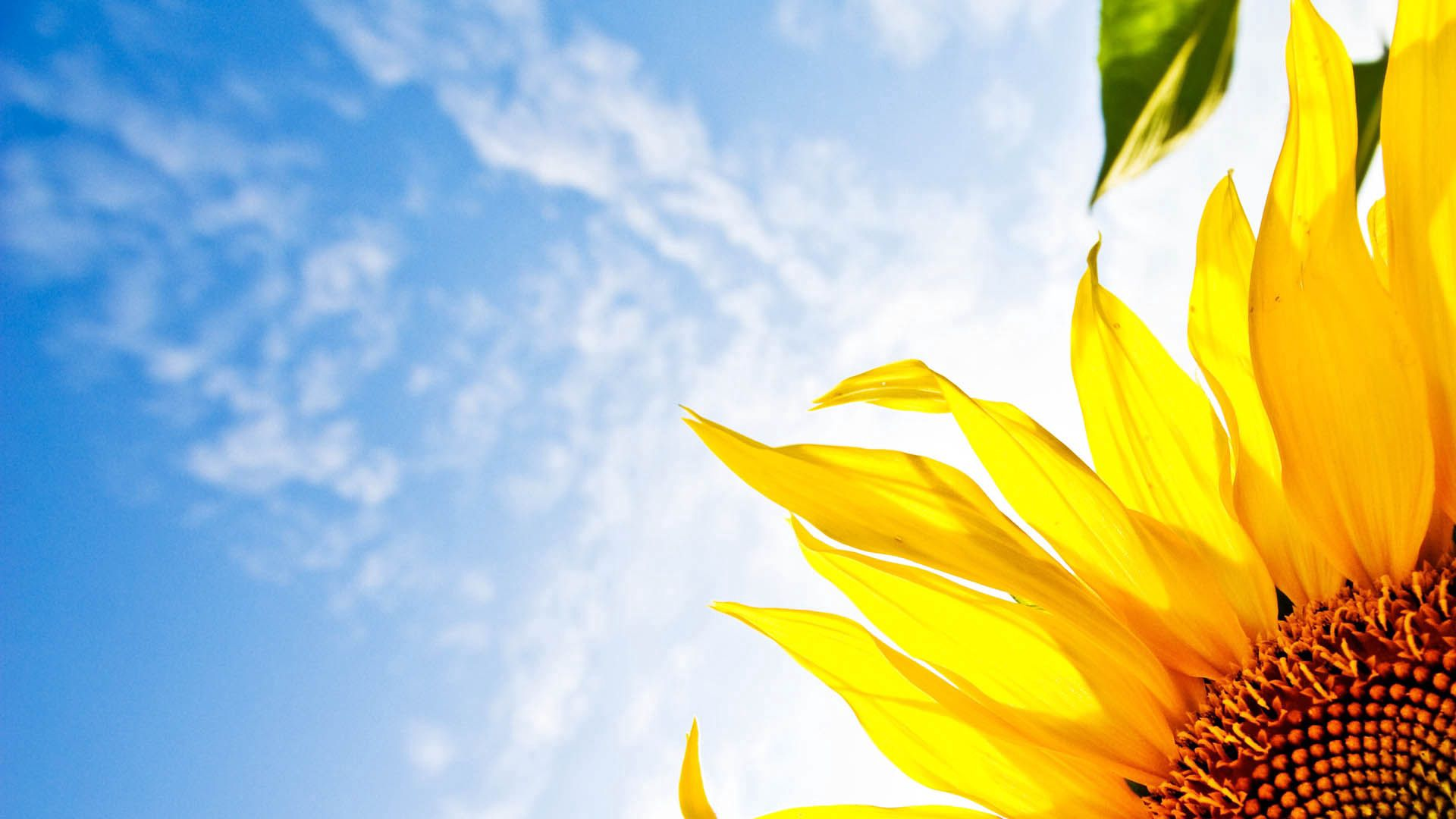 75663 download wallpaper Flowers, Flower, Sunflower, Sky, Clouds screensavers and pictures for free