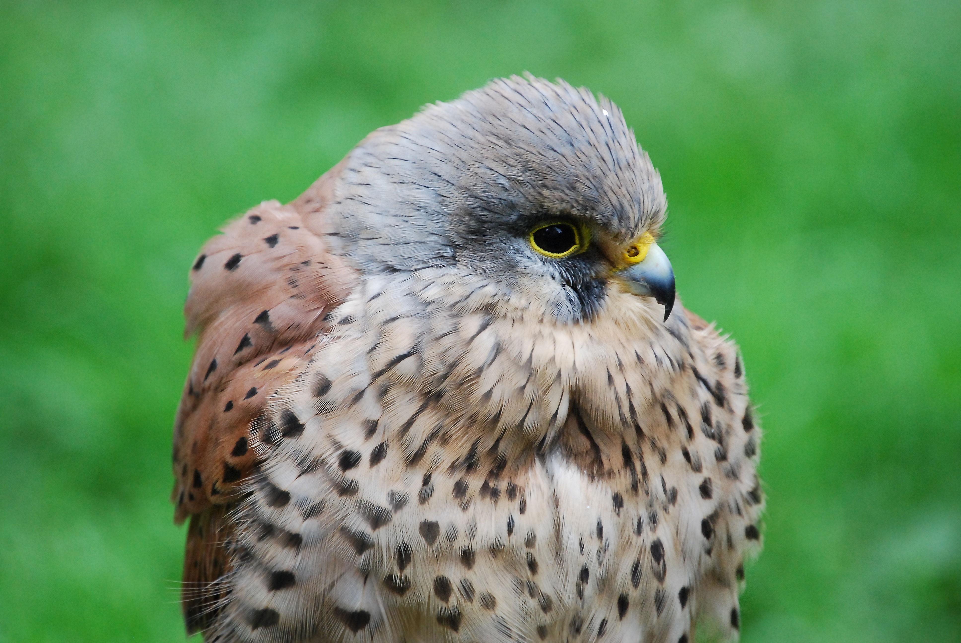 81974 Hintergrundbild herunterladen Tiere, Vogel, Schnabel, Raubtier, Predator, Falke, Hawk, Turmfalke, Kestrel - Bildschirmschoner und Bilder kostenlos