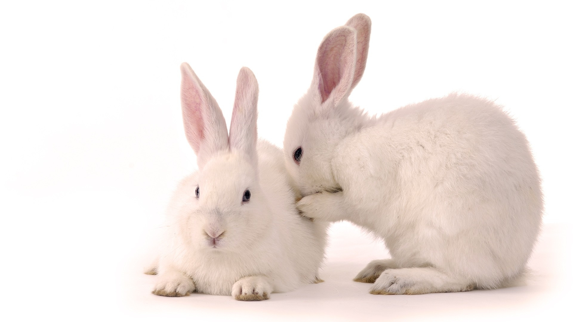 34862 download wallpaper Animals, Rabbits screensavers and pictures for free