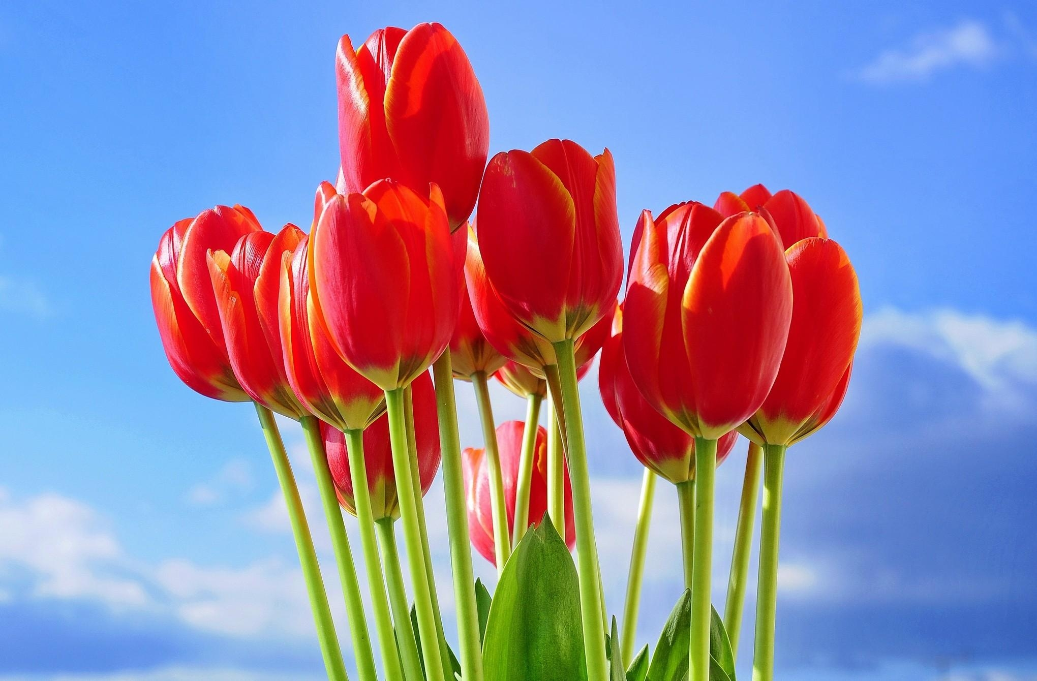 113781 скачать обои Тюльпаны, Букет, Цветы, Небо, Весна - заставки и картинки бесплатно