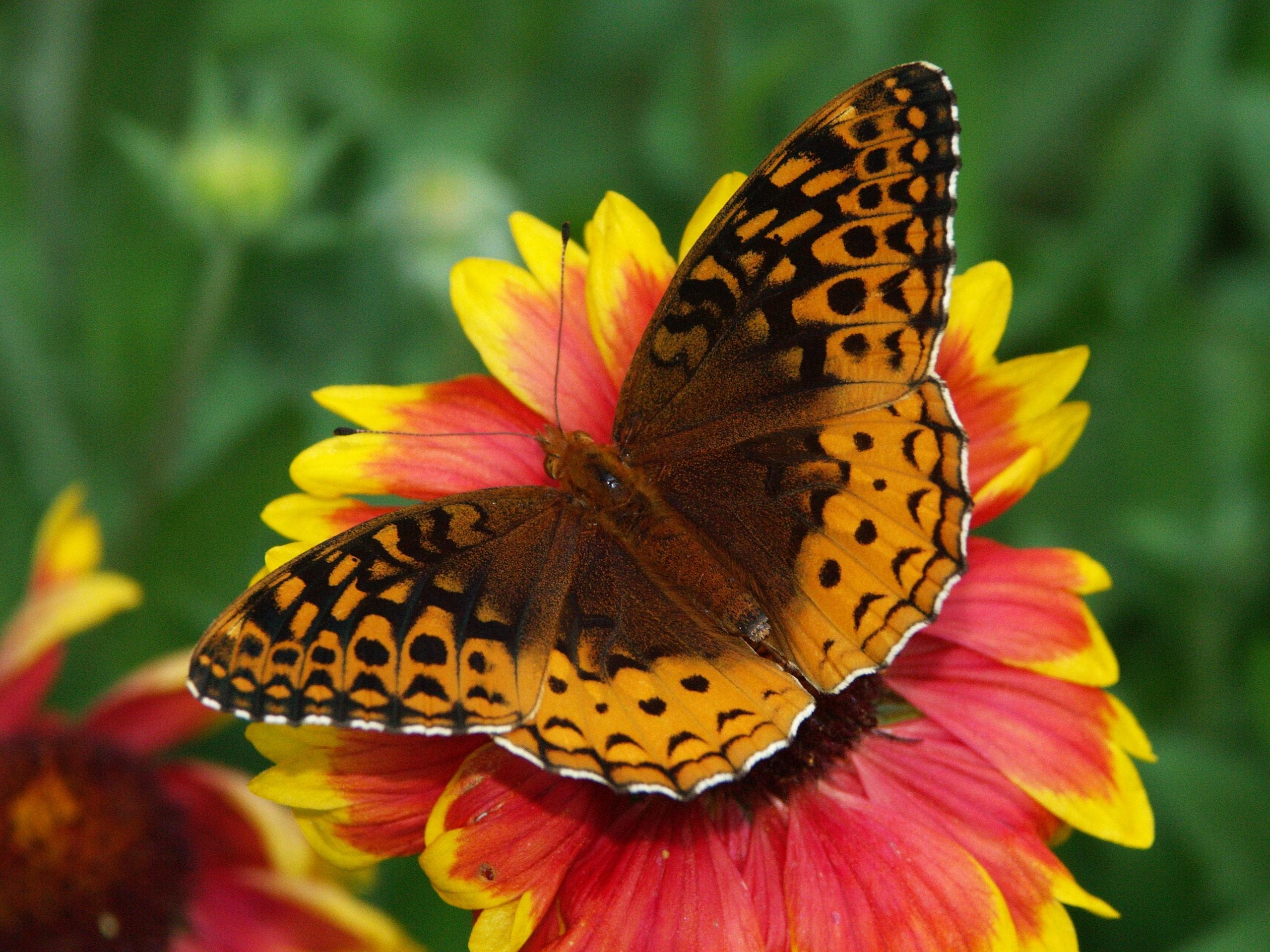 111970 Screensavers and Wallpapers Butterfly for phone. Download Flower, Macro, Butterfly, Wings pictures for free