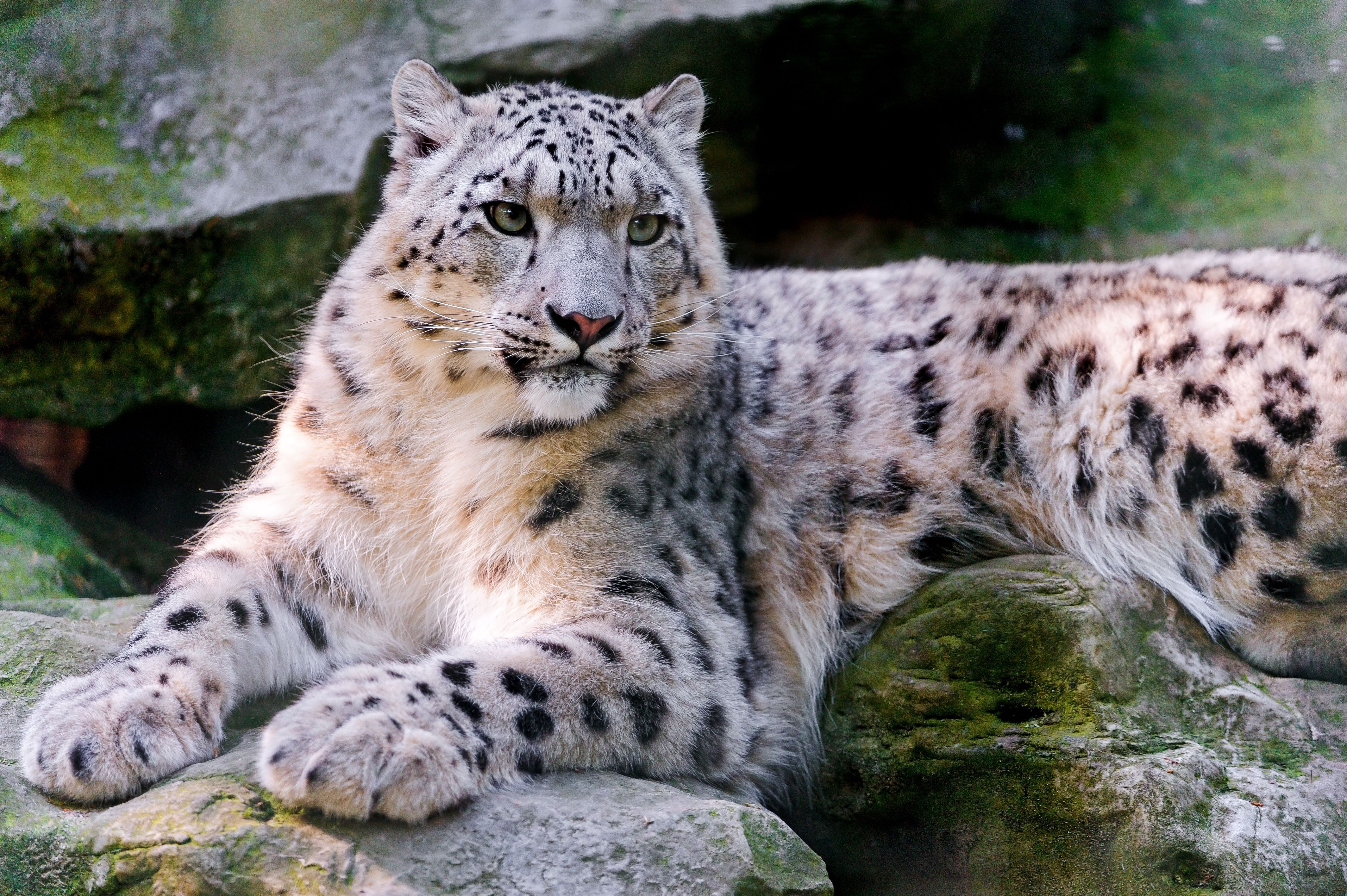 102017 download wallpaper Animals, Big Cat, Predator, To Lie Down, Lie, Snow Leopard screensavers and pictures for free