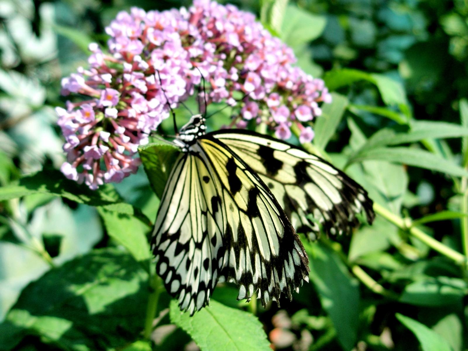 2376 скачать обои Бабочки, Насекомые - заставки и картинки бесплатно