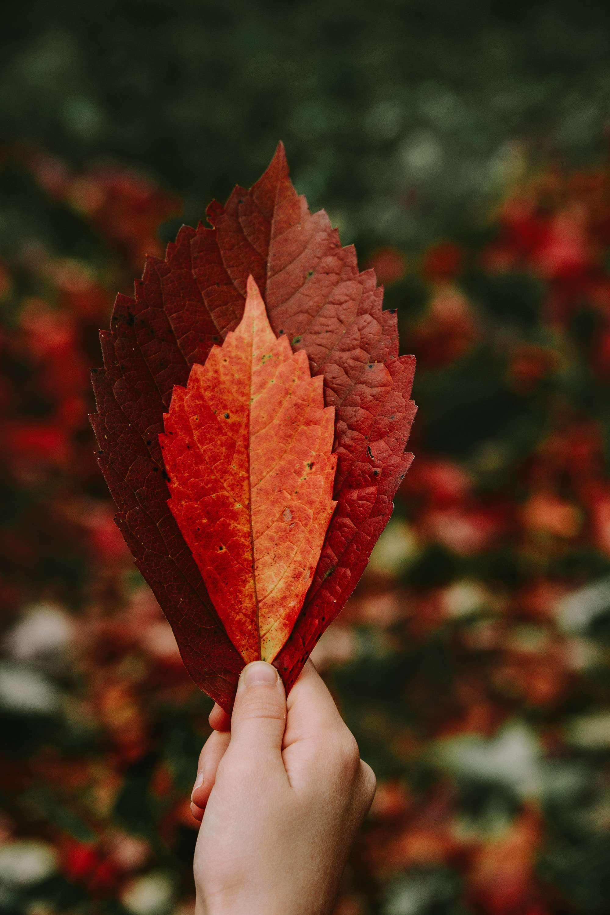116257 download wallpaper Miscellanea, Miscellaneous, Leaves, Hand, Dry, Autumn screensavers and pictures for free