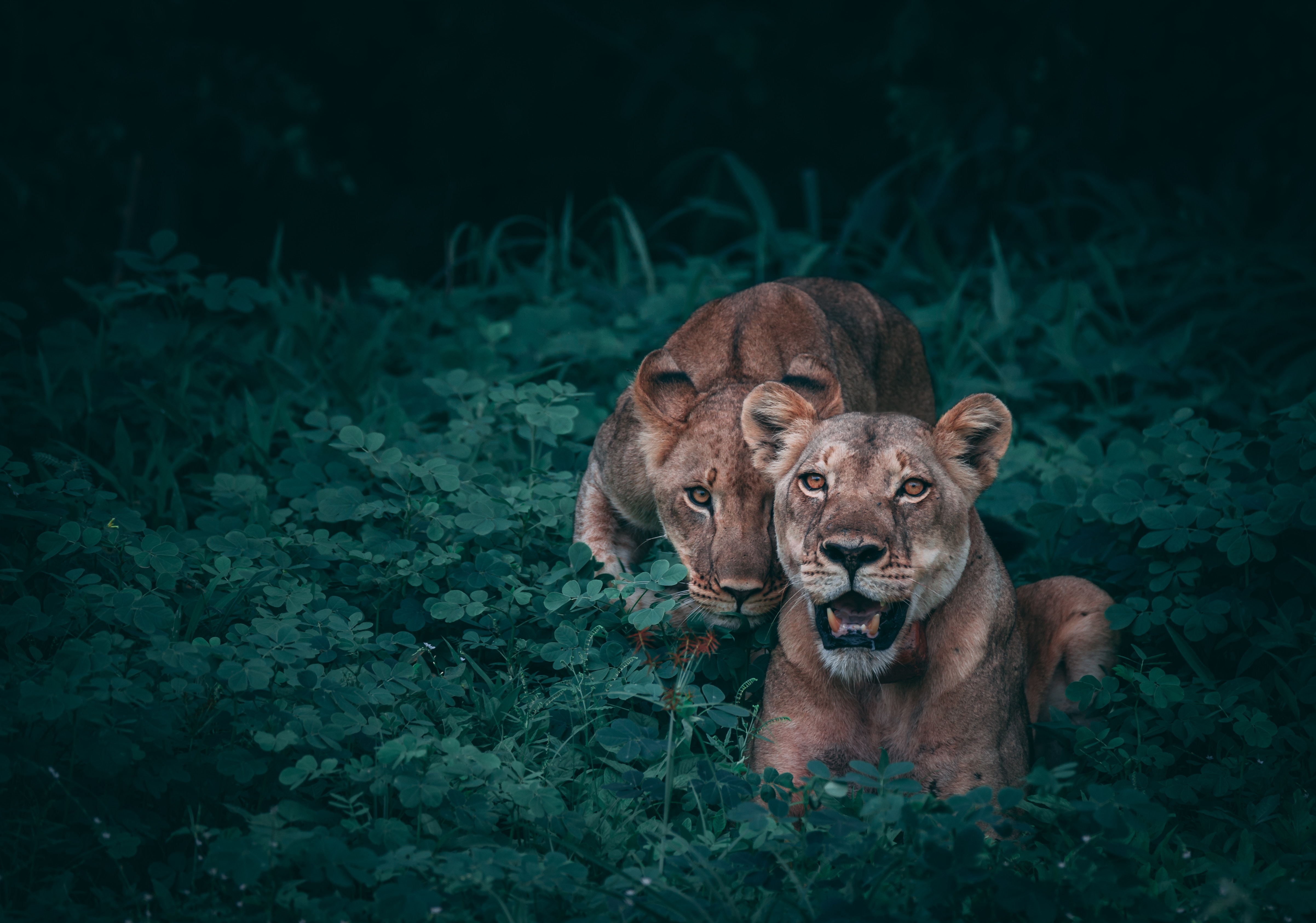 99441 Screensavers and Wallpapers Predators for phone. Download Animals, Grass, Predators, Lioness, Lionesses pictures for free