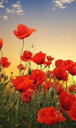 39992 скачать обои Растения, Цветы, Маки - заставки и картинки бесплатно