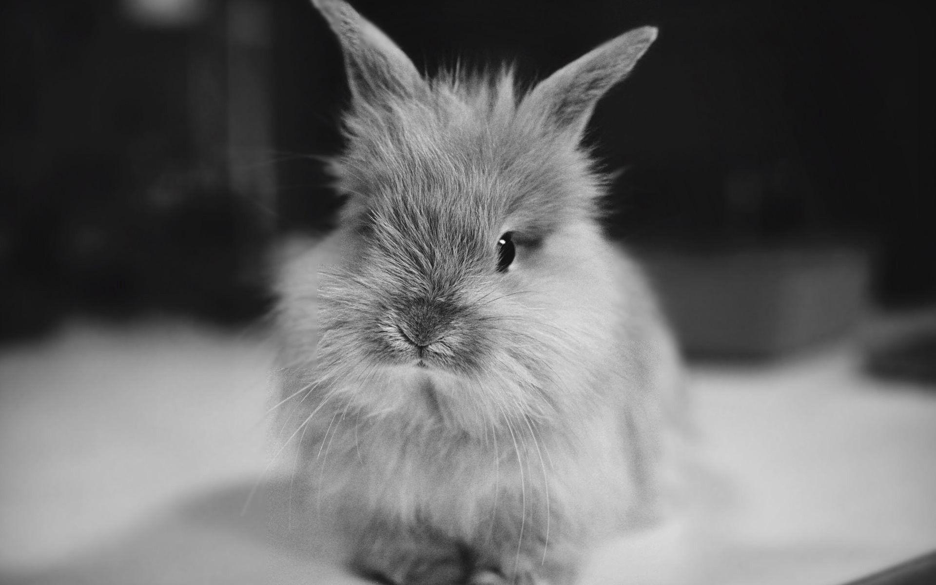 65400 Hintergrundbild herunterladen Kaninchen, Tiere, Flauschige, Bw, Chb, Klein - Bildschirmschoner und Bilder kostenlos