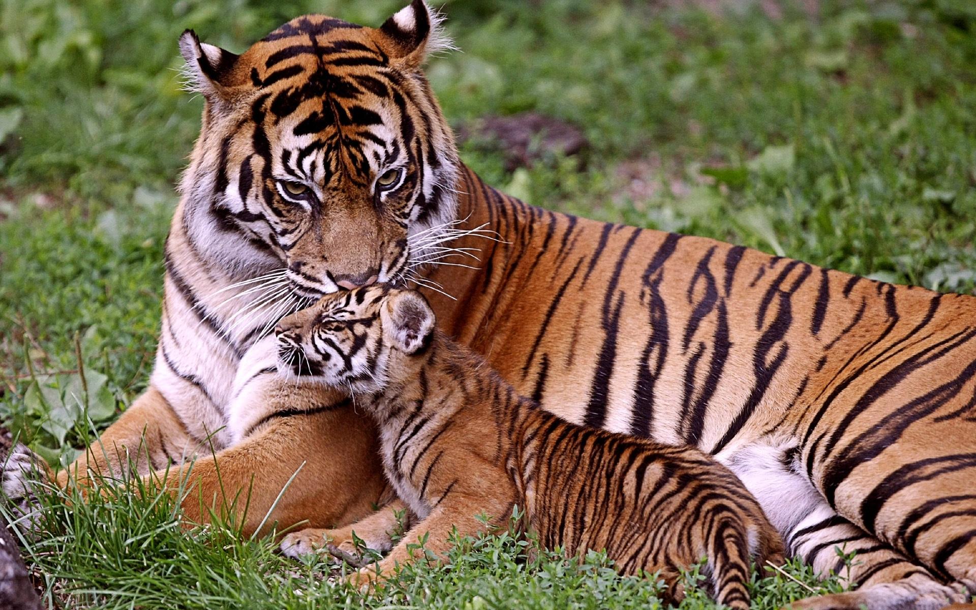 48591 Hintergrundbild herunterladen Tiere, Tigers - Bildschirmschoner und Bilder kostenlos
