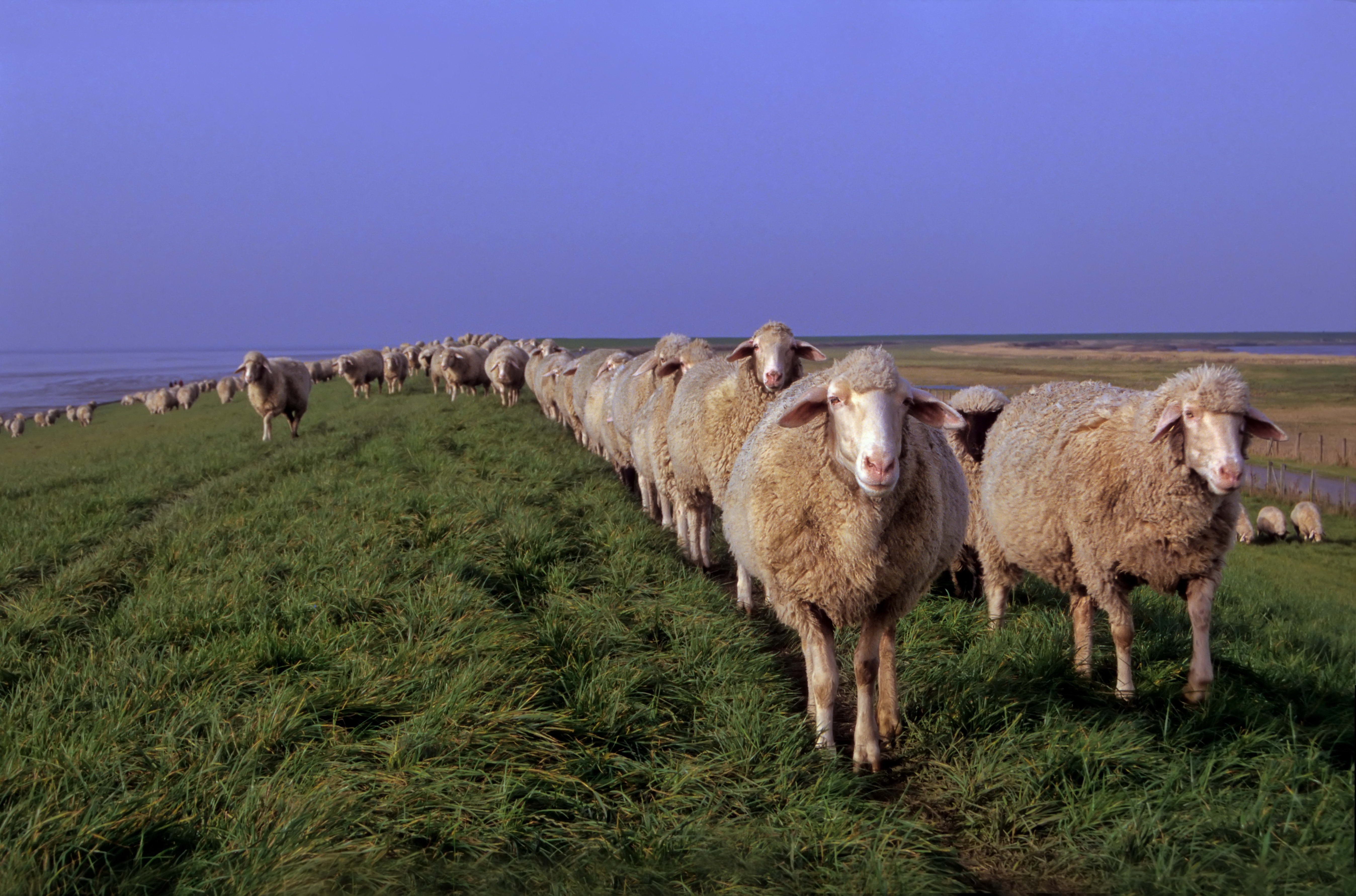 70109 Screensavers and Wallpapers Sheep for phone. Download Animals, Grass, Meadow, Sheep, Sheeps pictures for free