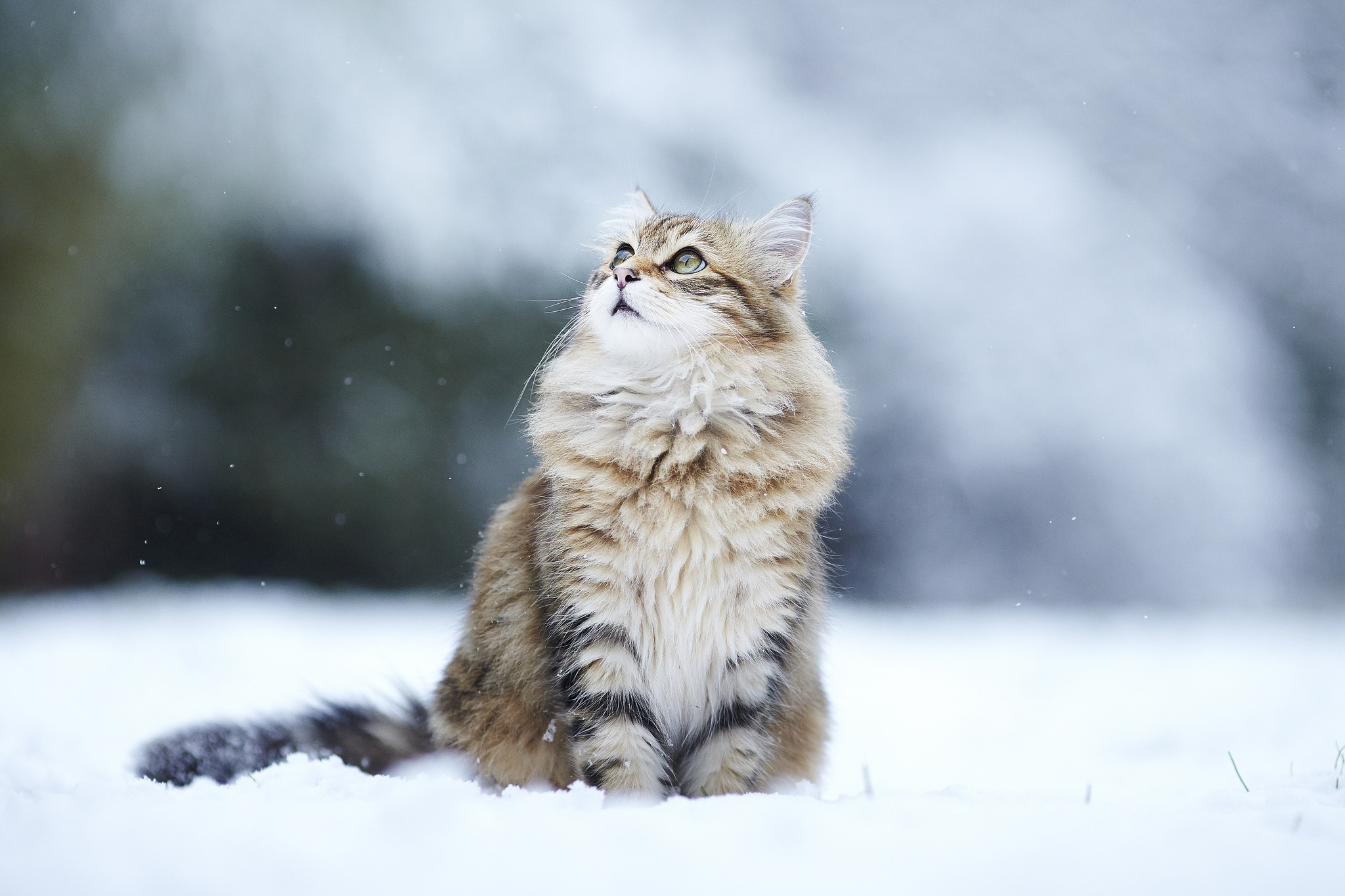 113602 Screensavers and Wallpapers Cats for phone. Download Animals, Cats, Fluffy, Snow, Blur, Smooth pictures for free