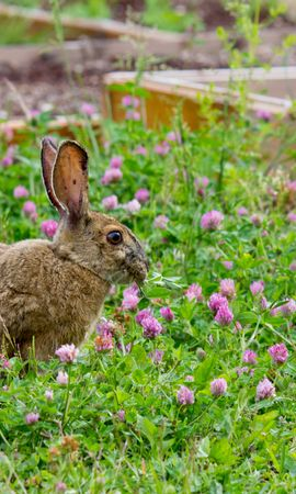 153549 download wallpaper Animals, Rabbit, Grass, Clover, Stroll screensavers and pictures for free
