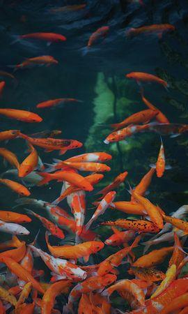 71315壁紙のダウンロード動物, 水中の世界, 水中ワールド, ゴールド, ゴールデン, 魚-スクリーンセーバーと写真を無料で