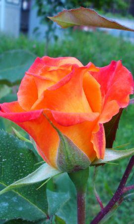 3355 скачать обои Растения, Цветы, Розы - заставки и картинки бесплатно