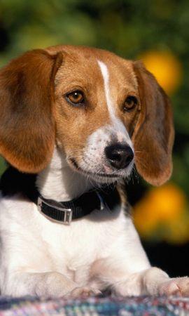 38476 baixar papel de parede Animais, Cães - protetores de tela e imagens gratuitamente
