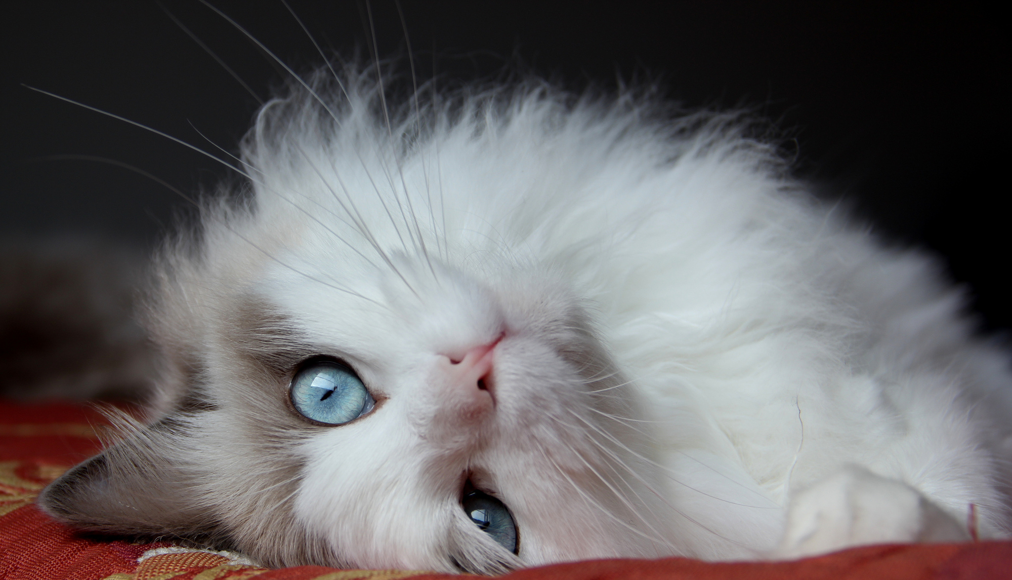 136063 download wallpaper Animals, Fluffy Cat, Cat, Lies, Eyes, Beautiful Cat screensavers and pictures for free