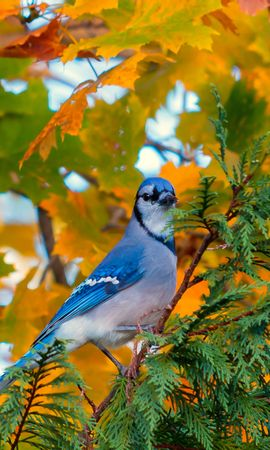 74453 download wallpaper Animals, Jay, Bird, Branch, Foliage, Autumn screensavers and pictures for free