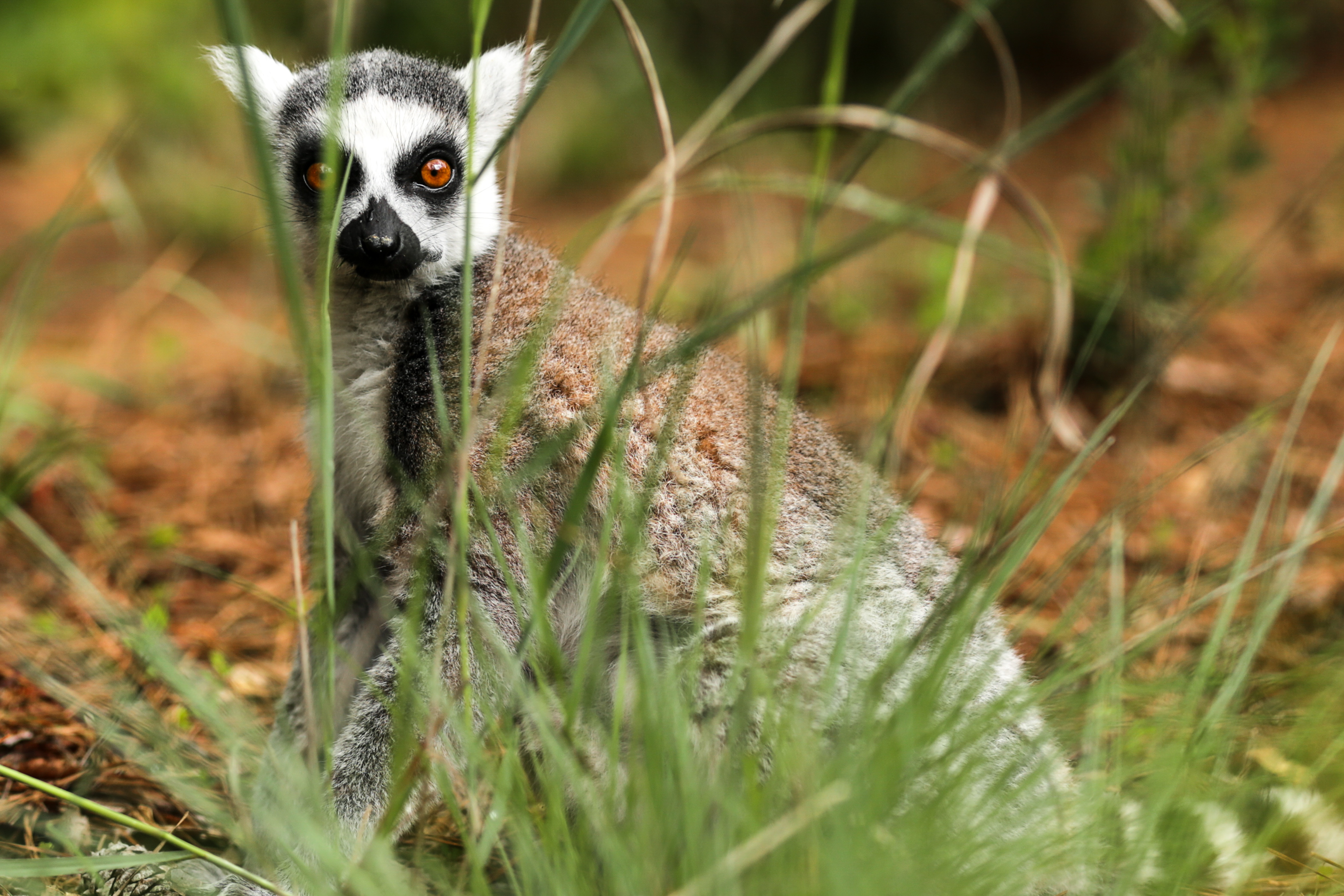 107826 download wallpaper Animals, Lemur, Is Sitting, Sits, Surprise, Astonishment, Grass screensavers and pictures for free