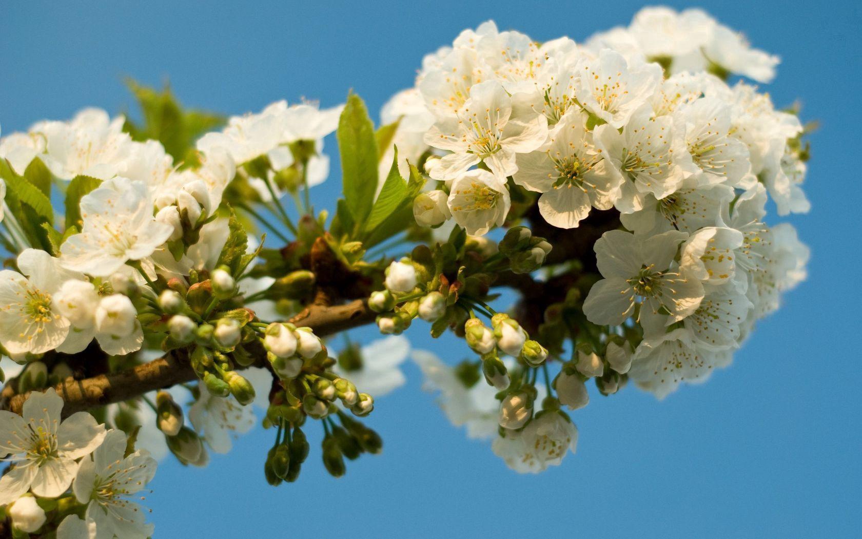 124130 скачать обои Цветы, Цветение, Ветка, Небо, Весна, Листья - заставки и картинки бесплатно