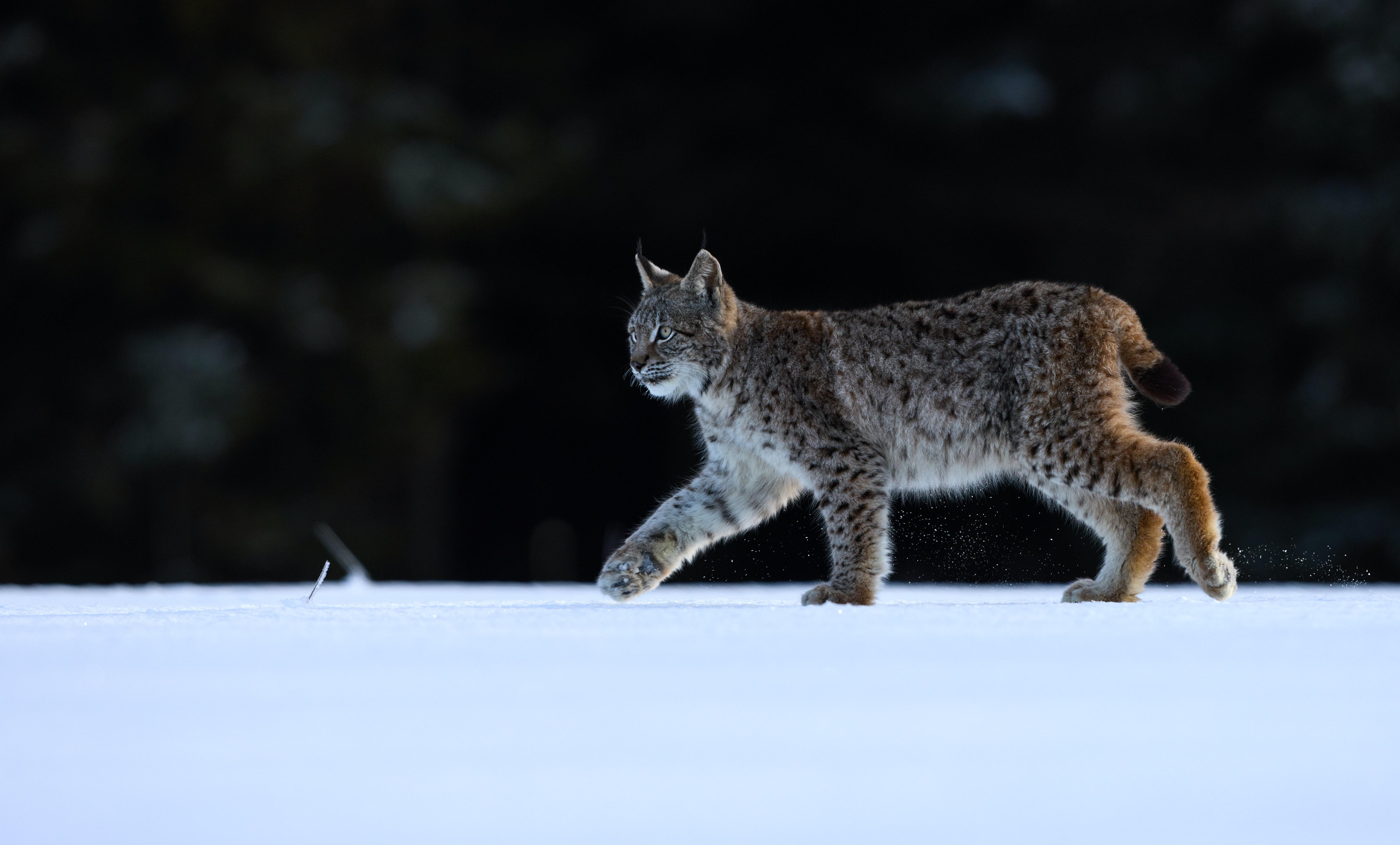 88223 download wallpaper Animals, Iris, Animal, Predator, Big Cat, Wildlife screensavers and pictures for free