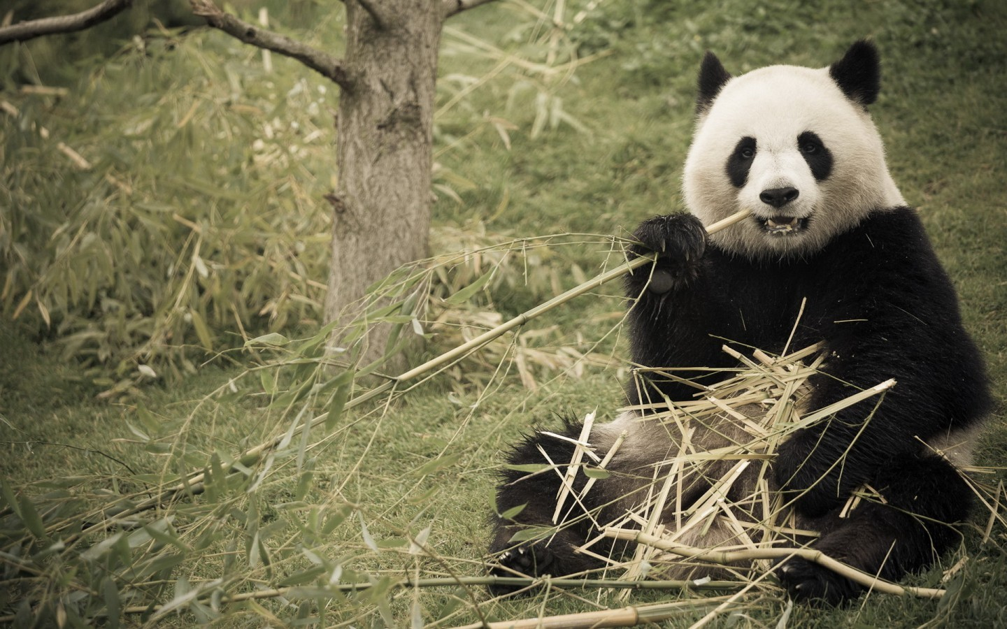 49219 download wallpaper Animals, Pandas screensavers and pictures for free