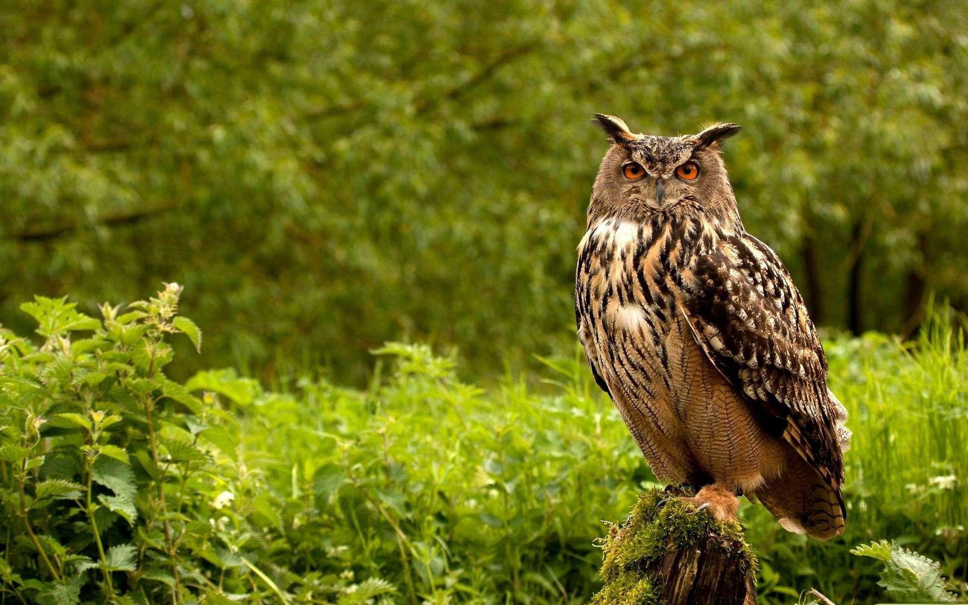149206 Screensavers and Wallpapers Bird for phone. Download Animals, Grass, Owl, Bird, Greens, Predator pictures for free