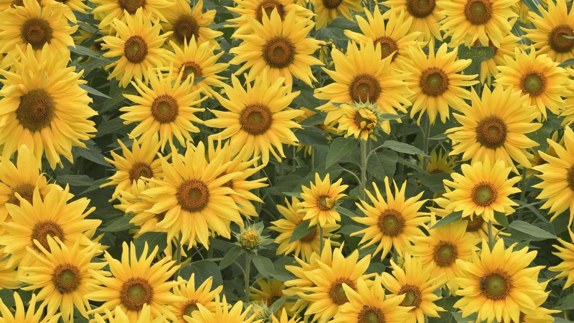 92421 скачать обои Цветы, Поле, Лето, Зелень, Подсолнухи - заставки и картинки бесплатно