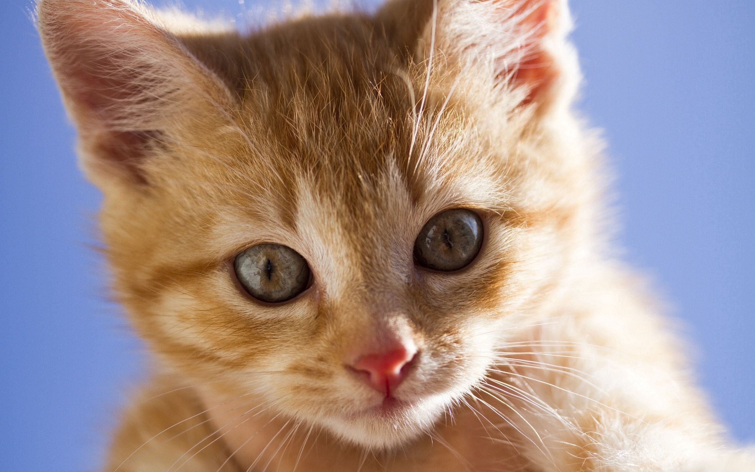 70503 download wallpaper Animals, Kitty, Kitten, Muzzle, Sight, Opinion, Redhead, Fright screensavers and pictures for free