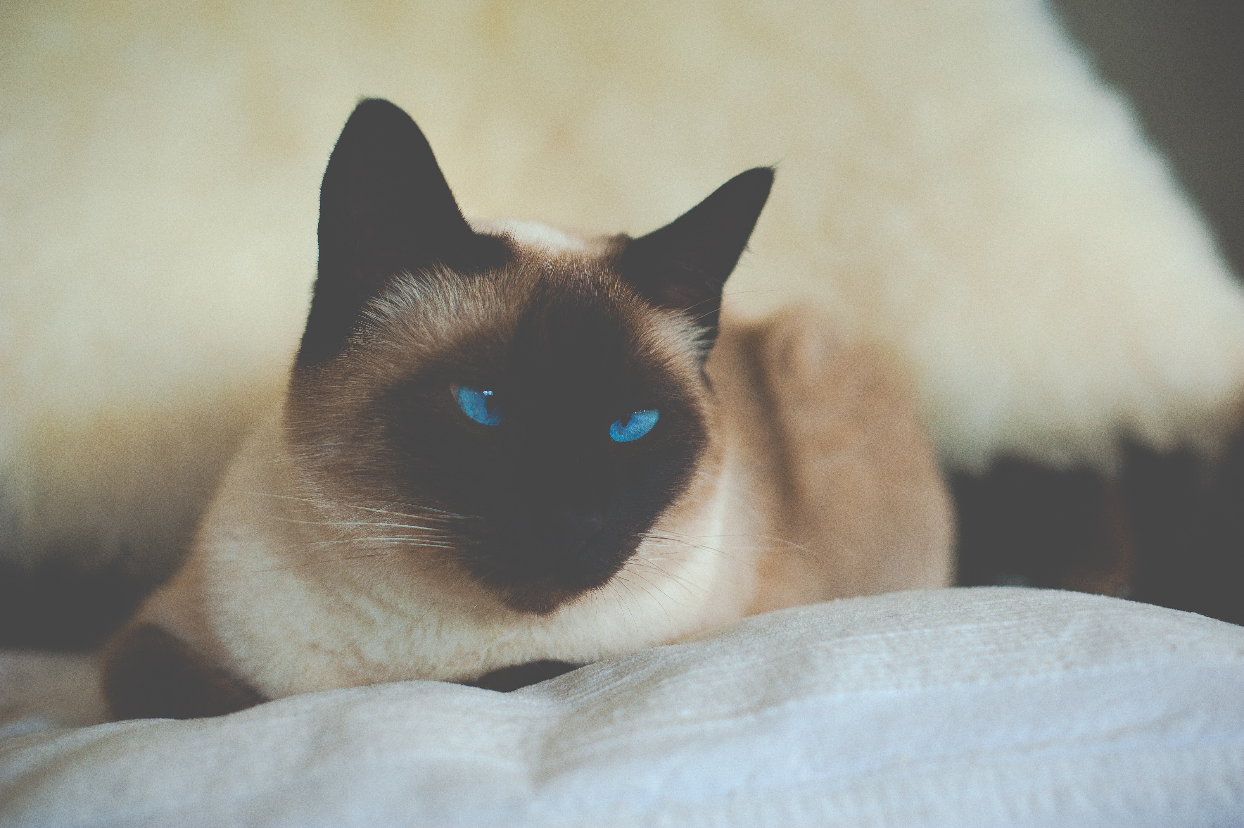 93037 download wallpaper Animals, Cat, Siamese, Blue Eyed, Blue-Eyed screensavers and pictures for free
