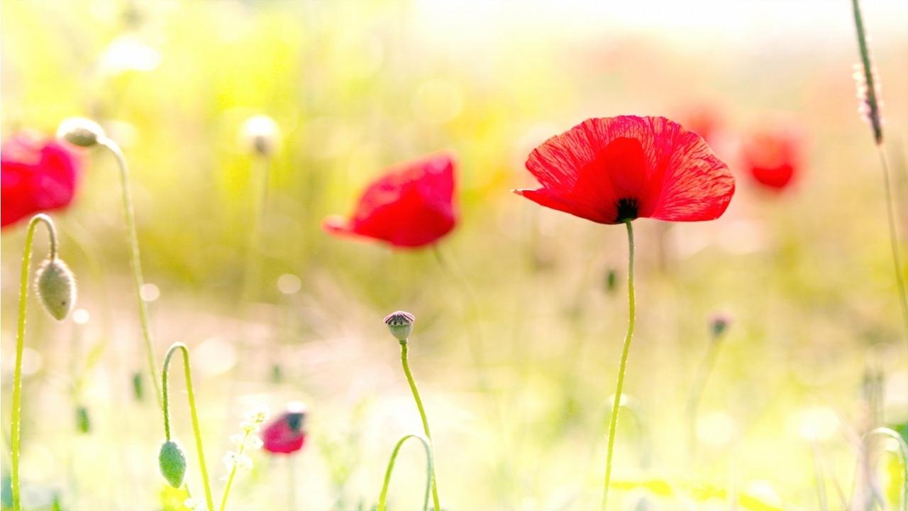 45346 скачать обои Растения, Цветы, Маки - заставки и картинки бесплатно