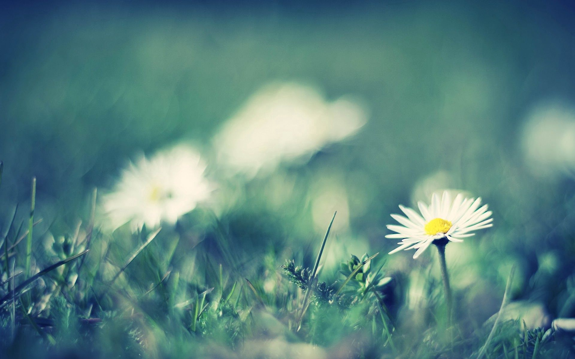 116027 download wallpaper Macro, Camomile, Grass, Greased, Smeared, Field, Flowers screensavers and pictures for free