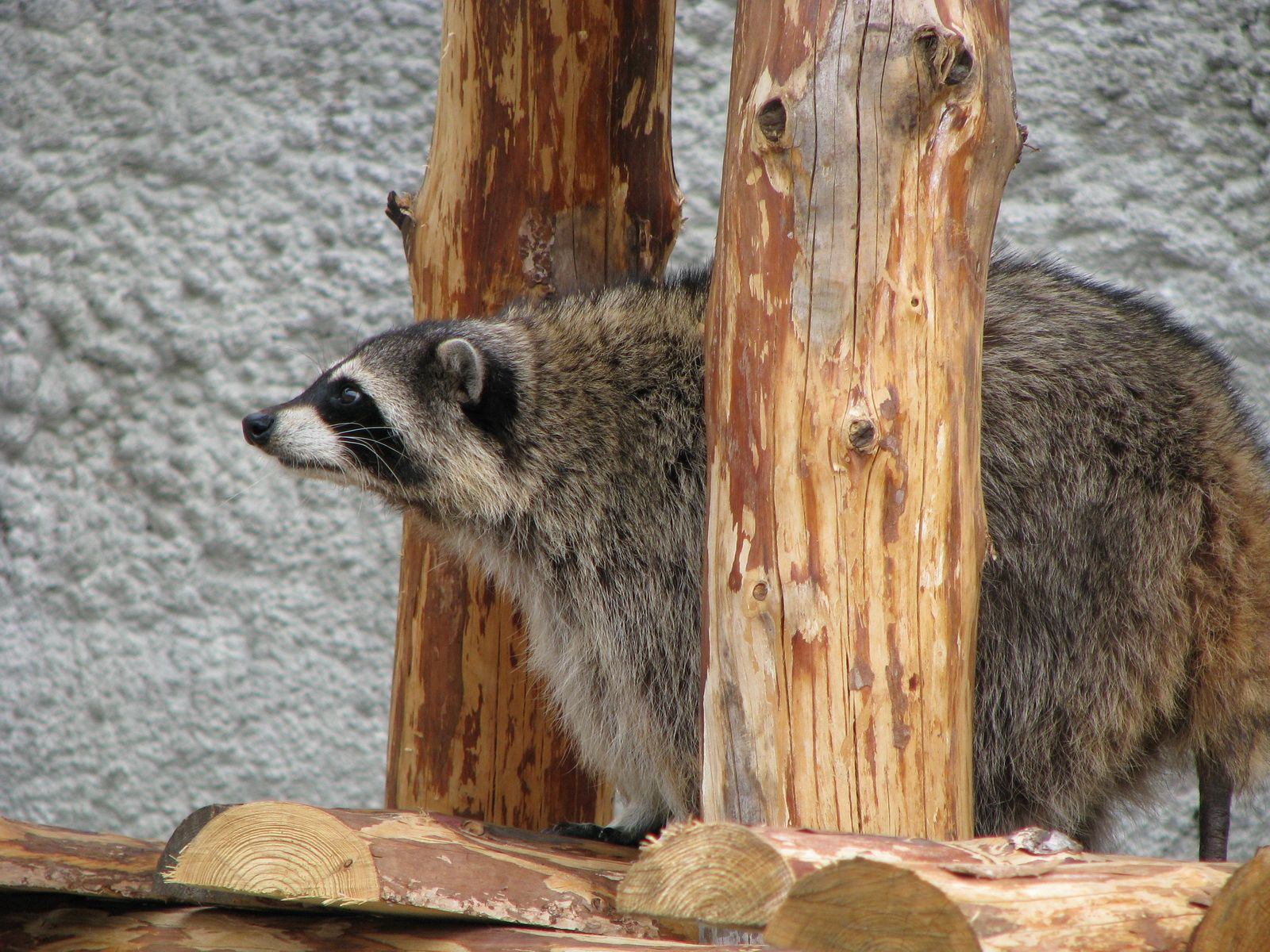 89621 Screensavers and Wallpapers Raccoon for phone. Download Animals, Sit, Raccoon, Curious, Look pictures for free